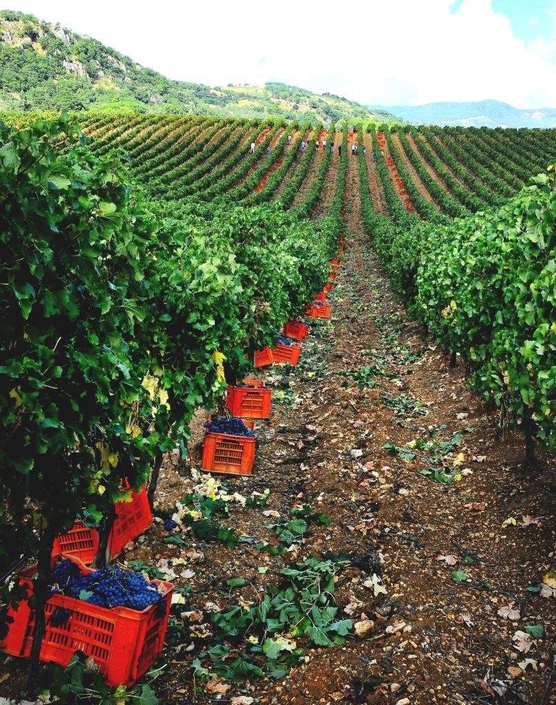 Baglio di Pianetto: vendemmia 2019 | Sicilia da Gustare