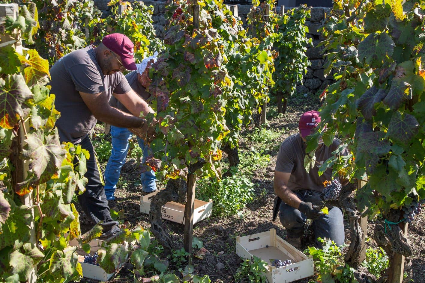 Firriato: grandi premesse per la vendemmia 2019   Sicilia da Gustare