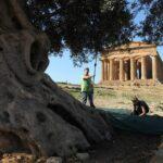L'olio della Valle dei Templi: l'extravergine sulla via sacra | Sicilia da Gustare